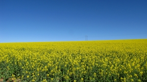 golden-canola-field-with-blue-sky-1245845-m